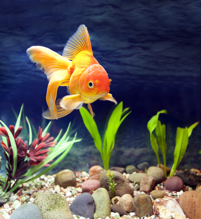 Aquarium native hardy fancy gold fish, Red Fantail 版權商用圖片