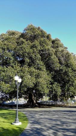 Gigantic Moreton Bay Fig Tree, Camarillo, Ventura county, California Stock Photo