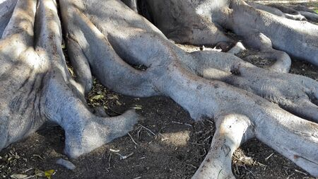 fig tree: Buttress roots and monstrous twisting trunk of gigantic Moreton Bay Fig Tree