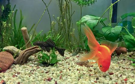 anubias: Fancy Fantail Glodfish forrajeo en sustrato de grava y peces gato Pleco descansando sobre trozos de madera