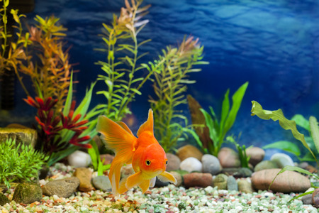 hardy: Aquarium native hardy fancy gold fish, Red Fantail Stock Photo