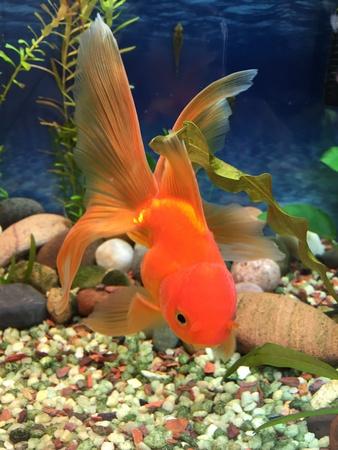 aquarium hobby: Hardy red Fantail gold fish
