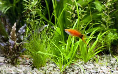 fish tank: Red Wag Swordtail nataci�n en acuario plantado
