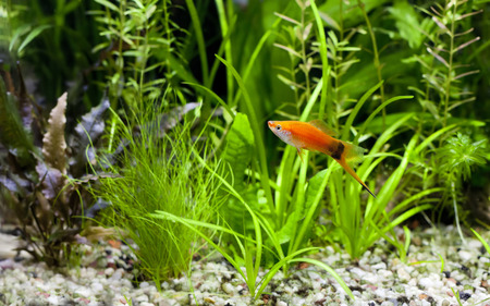 wag: Red Wag Swordtail swimming in planted fish tank