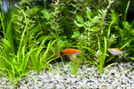 molly fish: Red Wag Swordtail and Cremecicle Lyretail Molly Stock Photo