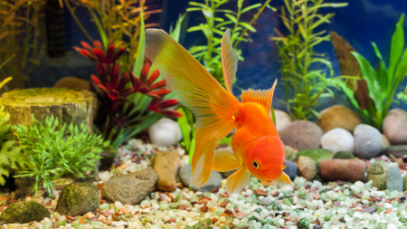 Red Fantail, hardy fancy gold fish in planted aquarium Imagens
