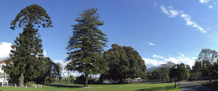 feigenbaum: Australian Bunya-Bunya, Norfolk Island Pines und Moreton Bay Fig Tree, Camarillo, Ventura County, Kalifornien
