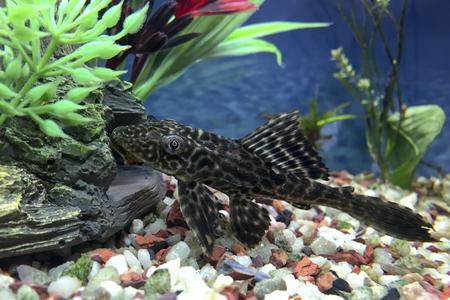 rock bottom: Hypostomus Plecostomus, bottom dweller cat fish or algae sucker,  checking underwater rocks and caves