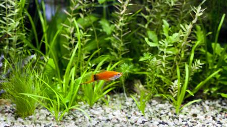 aquarium hobby: Red Wag Swordtail swimming in planted fish tank