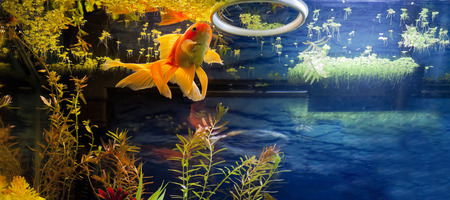 gold fish: Fancy Red Gold Fish snacking on duck weed from the water surface Stock Photo