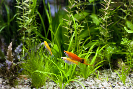 molly fish: Cremecicle Lyretail Molles and Red Wag Swordtail and swimming in planted fish tank; focus on a front couple of fish