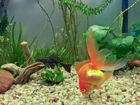 Hardy Fantail Gold Fish and Algae Sucker Fish, Hypostomus Plecostomus photo