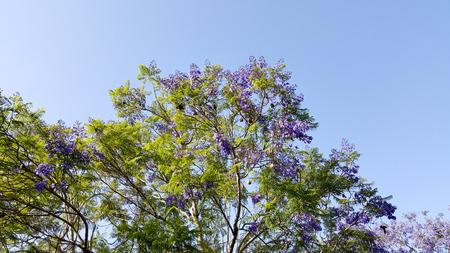 Magnificently profuse flowering Jacaranda tree