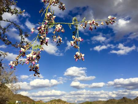 orchid tree: �rbol orqu�dea Anacacho o Bauhinia purpurea en el desierto de Arizona, cerca de Salome