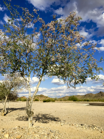 lobed: Anacacho orchid tree or Bauhinia purpurea in Arizona desert near Salome Stock Photo
