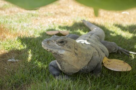 curiously: Iguana on grassy patch curiously looking at you with left eye Yucatan Mexico