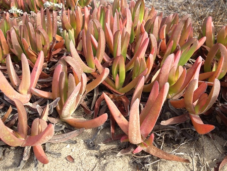 ice plant: California drought tolerant pink ice plant Delosperma cooperi at Mandalay Beach in Oxnard Ventura county CA