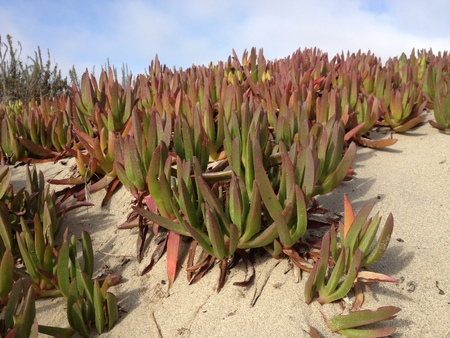 iceplant: Cooper ice plant Delosperma cooperi under blue sky at Mandalay Beach in Oxnard Ventura county CA Stock Photo