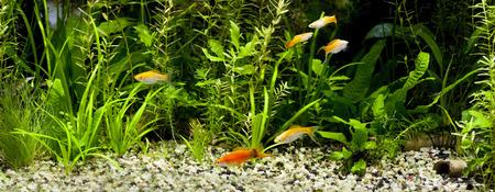 pez pecera: Red Wag Swordtail con pececitos y guppies en un foco acuario comunitario tropical plantado sobre un pez rojo Foto de archivo