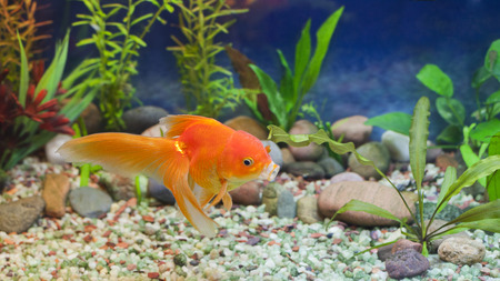 fantail: Red Fantail, hardy fancy gold fish in planted aquarium Stock Photo