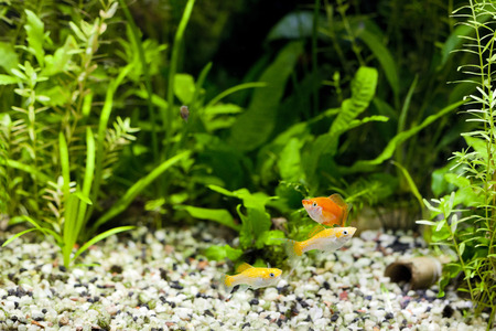Cremecicle Lyretail Molles and Red Wag Swordtail and swimming in planted fish tank; focus on yellow fishes