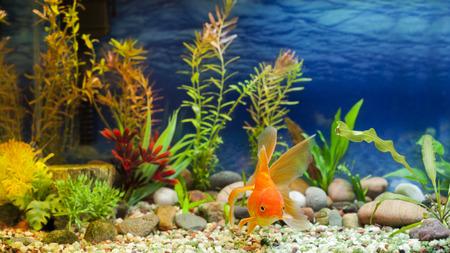 수족관 네이티브 하비 멋진 황금 물고기, 레드 Fantail