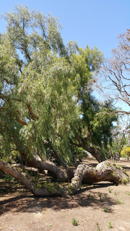 knocked over: Knocked over by wind California drought-tolerant Pepper tree