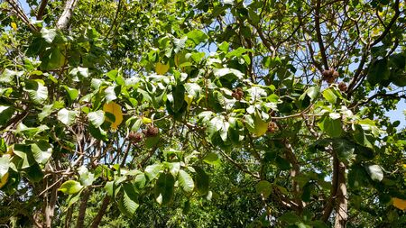 transplanted: Cape Chestnuts seedpods on greenery of its foliage growing in Southern California after being transplanted from South Africa