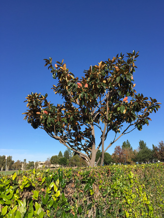 temperate: Southern Magnolia, native of American South East, also known as Magnolia Grandiflora growing in Southern California coastal cities with humid and temperate climate, Ventura County.