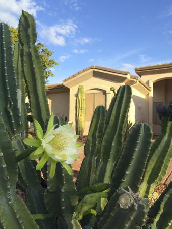 frontyard: Night cactus flower slowly closing its petals in the morning, Phoenix frontyard in Autumn,  Arizona