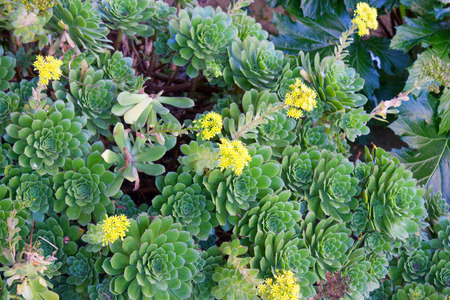 watery: Southern California Hen and Chicks succulents covering ground with watery thick leaves and yellow flowers