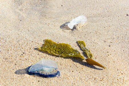 White Sails of Velella-velella stranded on ocean beach along with brown Kelp seaweed