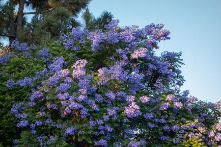 Flowering purple-blue Jacaranda tree crown with brown fruit pods Stock fotó