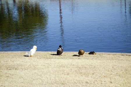az: Four colorful ducks at Cortez lake in a small recreational park of North West Metro Phoenix on New Year Day