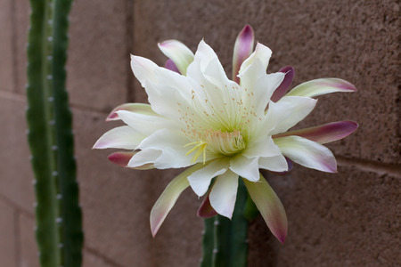 morning night: Arizona most popular garden cactus without thorns blooming in the night and early morning hours; close up
