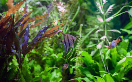 Angel fish swimming with platies in heavily planted community tropical aquarium.