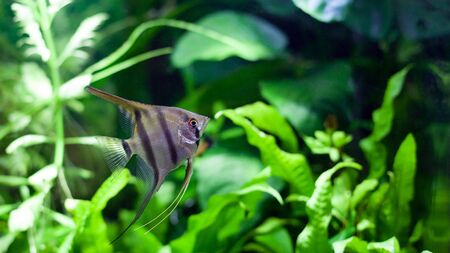 pterophyllum: Angelfish swimming in heavily planted tropical aquarium.
