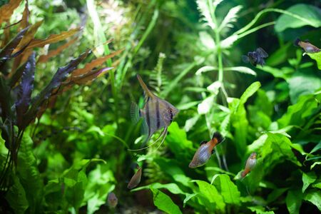 Angelfish swimming with platies in heavily planted community tropical aquarium.