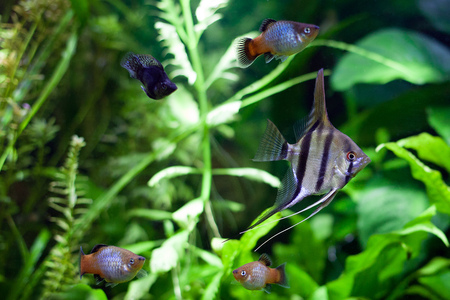 Angelfish swimming with platies and black molies in heavily planted community tropical aquarium.