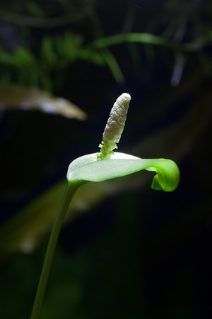 Anubias barteri var. nana (Dwarf Anubias) blooming in a planted tropical aquarium