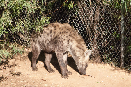 animal ear: Large African Spotted Hyena sniffing ground for food Stock Photo