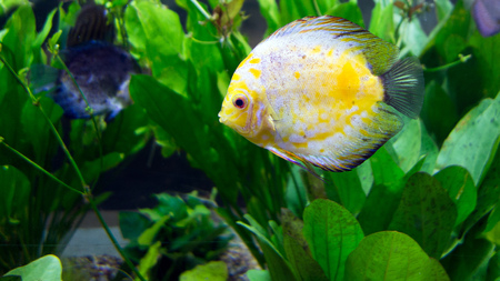 Amazon river basin Discus is most beautiful tropical fresh water fish, Cichlid family