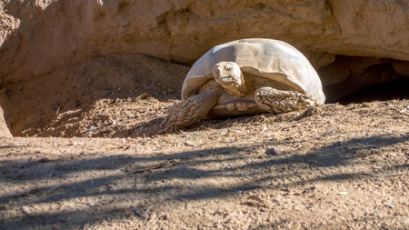Gigantic African Spurred Tortoise crawls out of a hiding burrow and perfectly blending in with surrounding terrain colors.