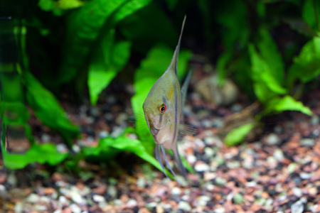 freshwater aquarium plants: Angelfish in planted tropical aquarium, front view, shallow DOF