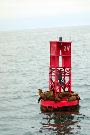 California sea lions or Eared seals resting on a buoy in Oxnard marina, Ventura county.