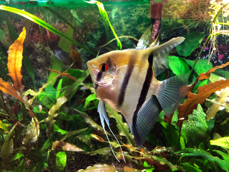 Angelfish with black and silver stripes and gold cast on its top in densely planted tropical aquarium Stock Photo