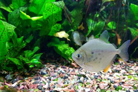 Silver Dollar fish (Metynnis lippincottianus) swimming in freshwater tropical densely planted aquarium Zdjęcie Seryjne - 105515259