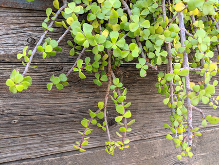 Succulent African plant of Portulacaria Afra or Spekboom Elephant Bush hanging from weathered wooden garden wall 스톡 콘텐츠