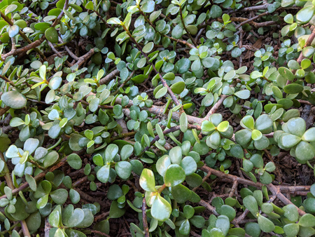 Thick leaves of succulent African plant of Portulacaria Afra or Spekboom Elephant Bush Stock Photo