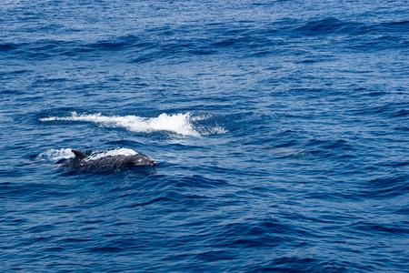 Dolphin swimming in open ocean waters near Ventura coast, Southern California